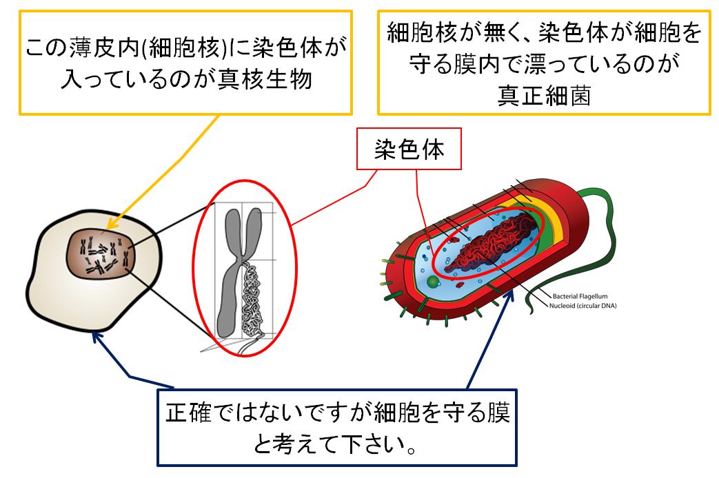 真核生物と真正細菌の比較.PNG