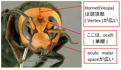 Hornet wide vertex 02.png